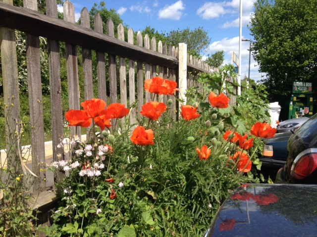 Some poppies at Buxted – Summer is coming!