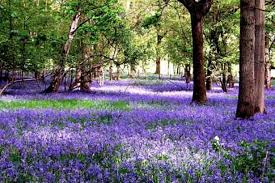 Its Bluebell time